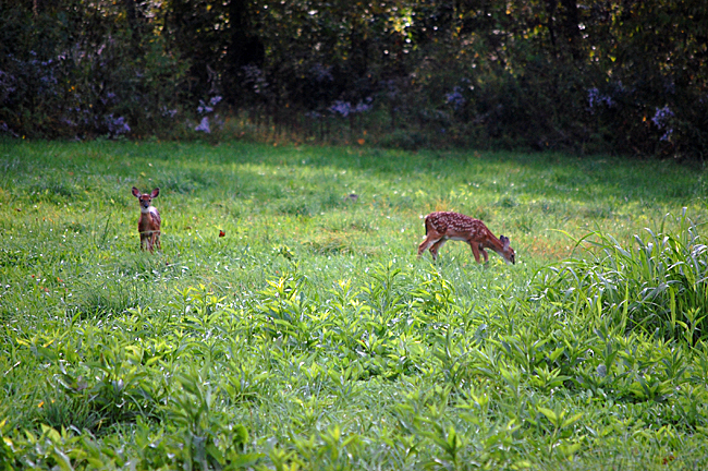 2013_10_06_fawns01