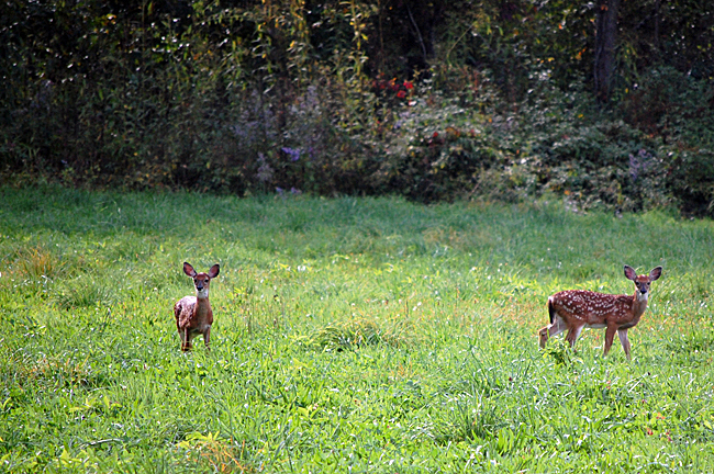 2013_10_06_fawns02
