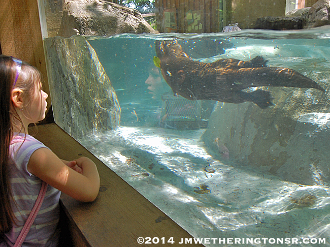 At the Otter Center Abby gets to watch one of the otters swim up to where she is watching.