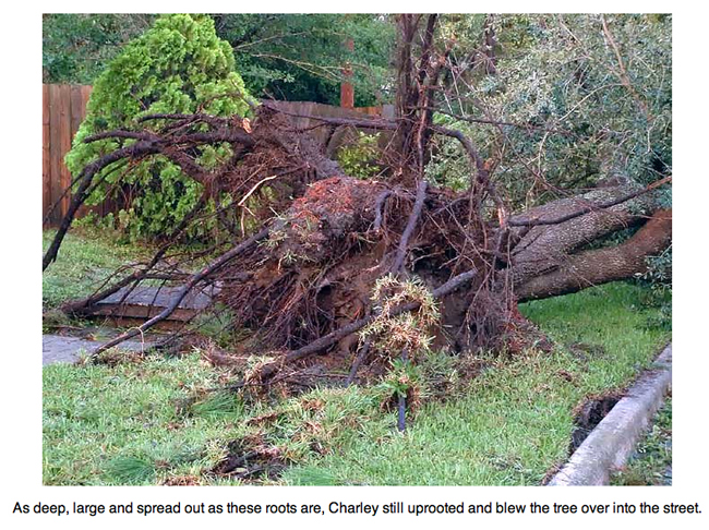 More trees uprooted by Hurricane Charley.