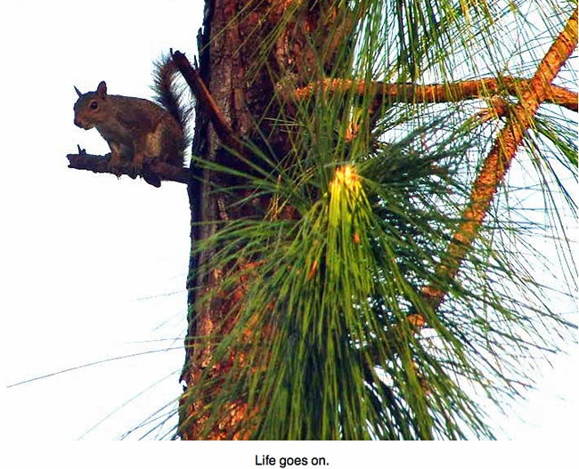 Squirrel in a tree the morning after Hurricane Charley.