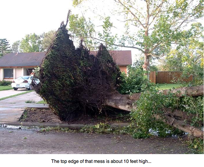 Tree toppled and uprooted by Hurricane Charley.
