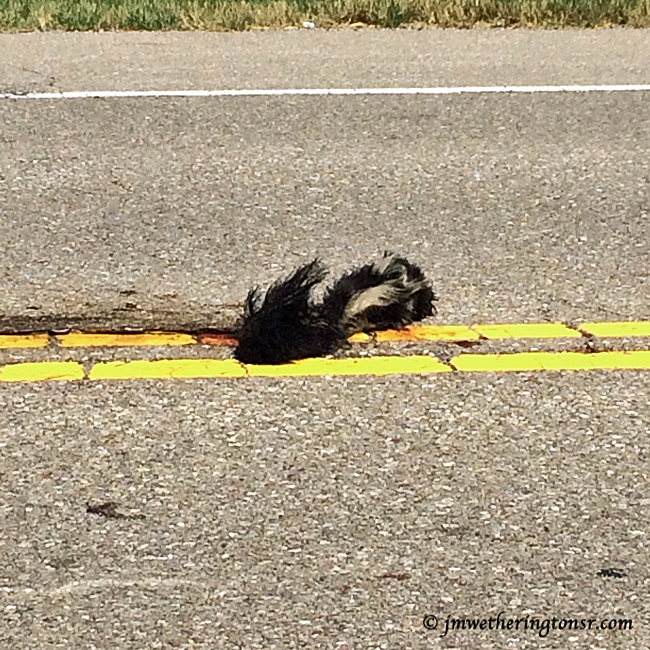 Dead skunk in the middle of the road